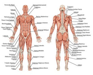 fitness tip #4 – how many muscles in the human body? | evolve gym, Muscles